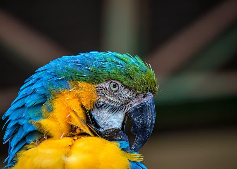 Arara aka Arara Caninde do ararauna das aros do pássaro, a azul e a amarela, pássaro brasileiro exótico fotografia de stock