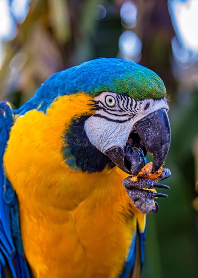 Arara aka Arara Caninde do ararauna das aros do pássaro, a azul e a amarela, pássaro brasileiro exótico fotografia de stock royalty free