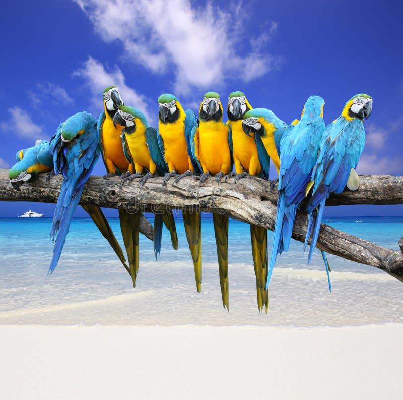 Arara azul e amarela na praia branca da areia imagem de stock royalty free