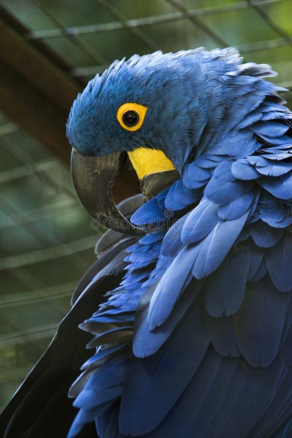 Arara azul em um parque brasileiro - azul do arara fotografia de stock