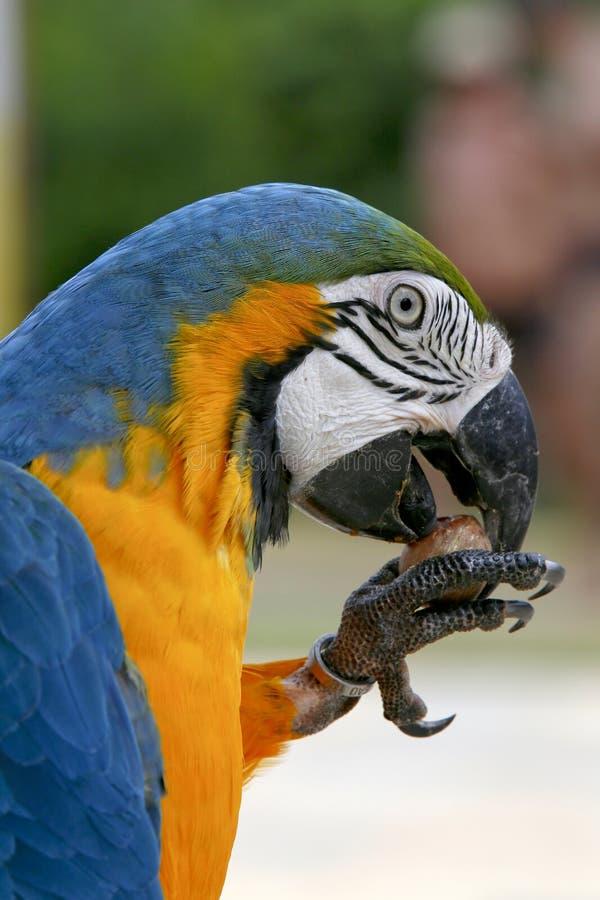 Arara Braziliaanse vogel stock fotografie