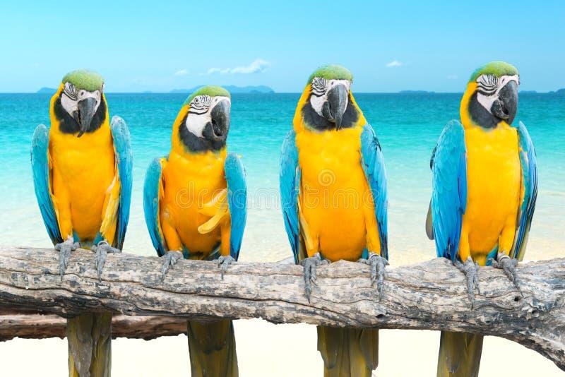 Arara do azul e do ouro na praia e no mar bonitos tropicais fotos de stock royalty free