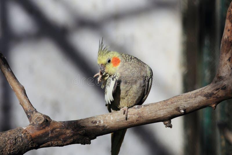 Arara do papagaio foto de stock