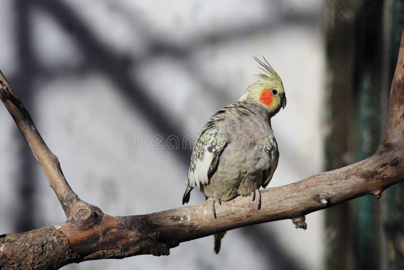 Arara do papagaio imagem de stock