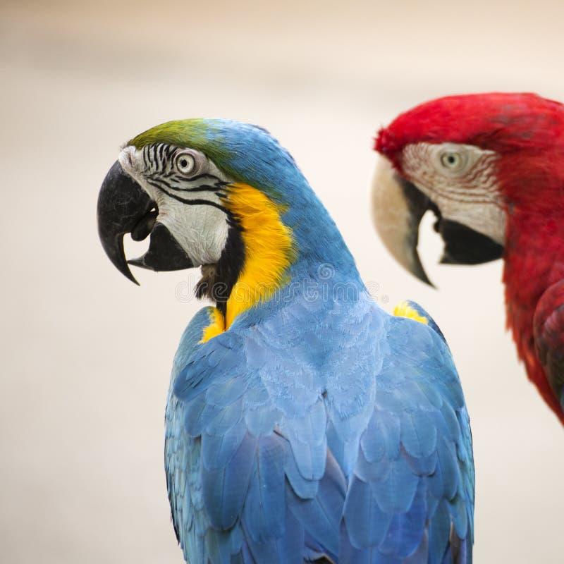 Arara do papagaio foto de stock royalty free