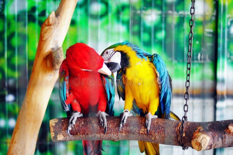 Arara e amor dos papagaios imagens de stock