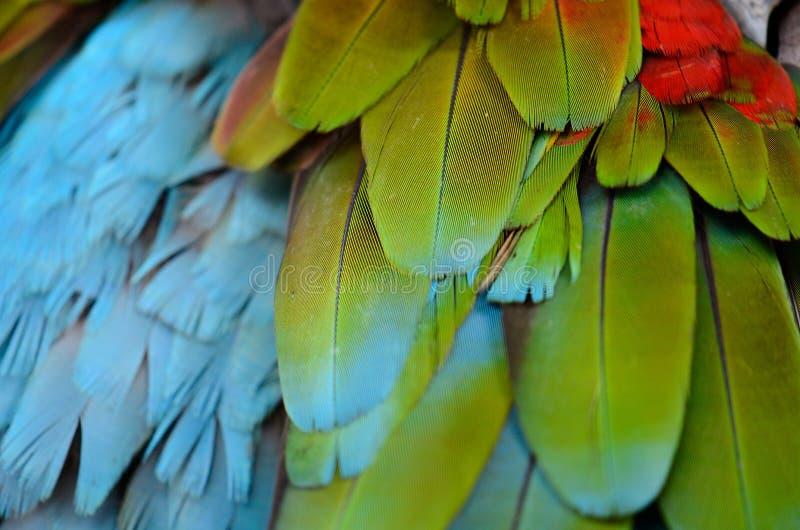 arara Verde-voada (chloropterus das aros) foto de stock royalty free