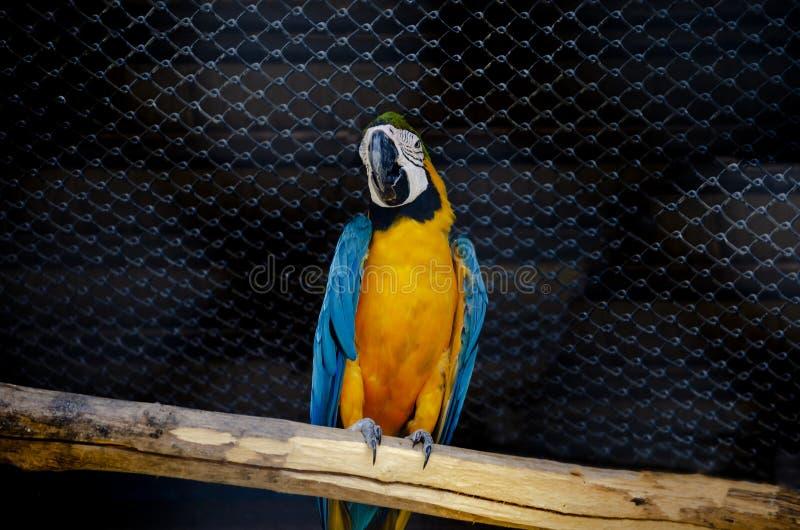 Arara vermelha do papagaio com o colorido amarelo azul da cor de corpo das asas no safari do jardim zoológico fotografia de stock royalty free