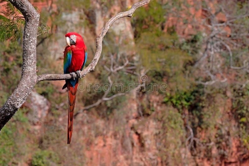 Arara vermelha e verde, Ara Chloropterus, Buraco DAS Araras, perto do bonito, Pantanal, Brasil imagem de stock royalty free