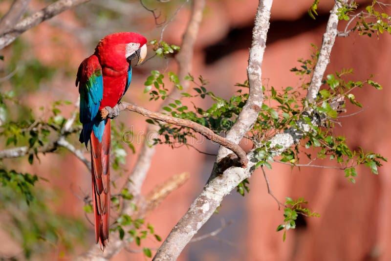 Arara vermelha e verde, Ara Chloropterus, Buraco DAS Araras, perto do bonito, Pantanal, Brasil fotografia de stock
