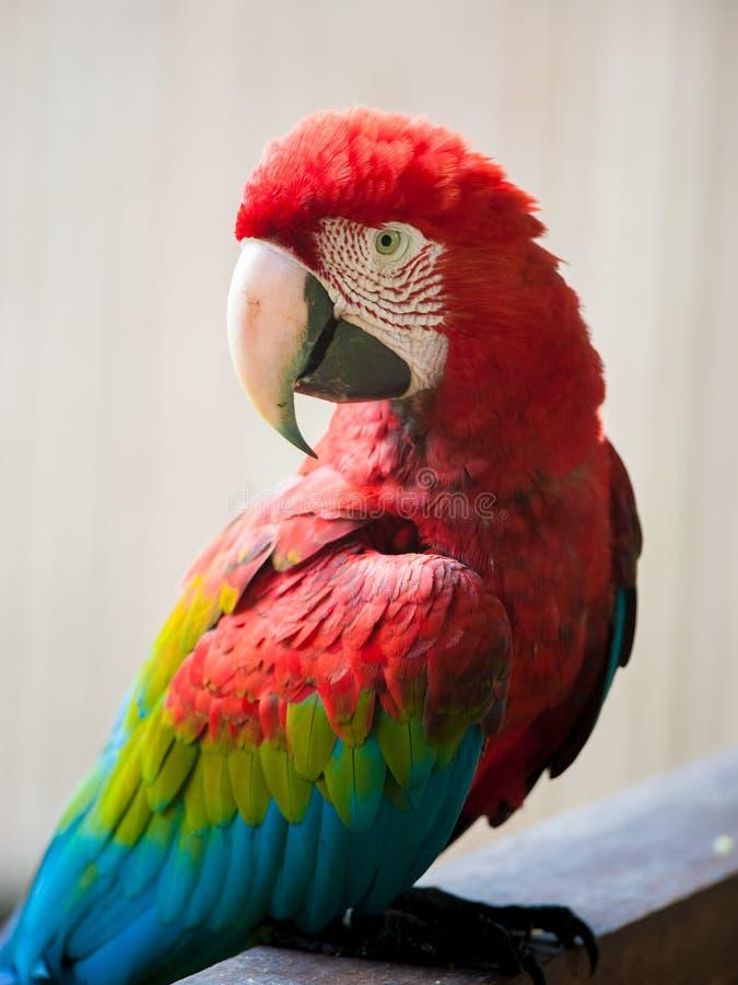 Arara Vermelho-e-verde imagens de stock