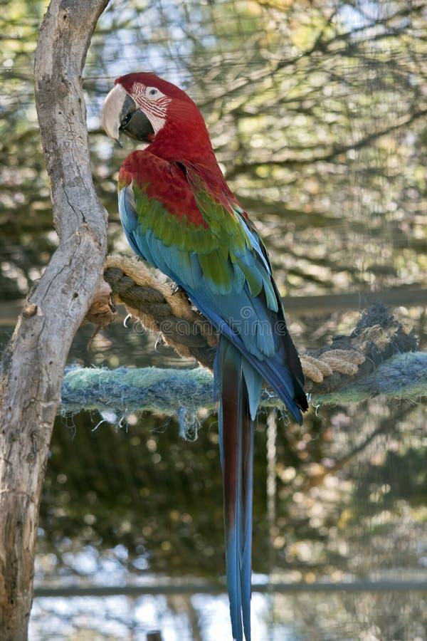 arara Vermelho-e-verde ou arara verde-voada fotos de stock