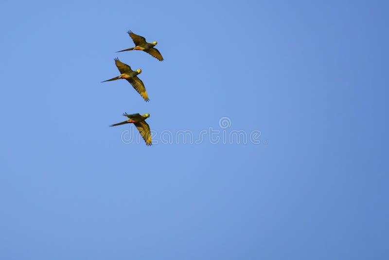 Arara Vermelho-inchada de voo, Orthopsittaca Manilata, Lagoa DAS Araras, Bom Jardim, Nobres, Mato Grosso, Brasil foto de stock