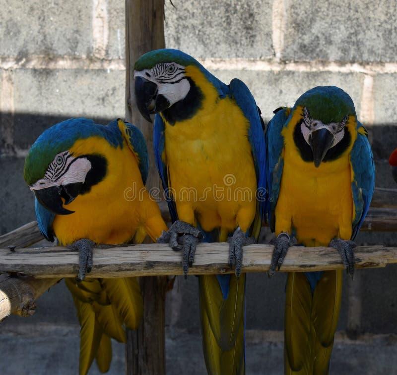 Araras Poços de Caldas, MG, BR στοκ φωτογραφίες με δικαίωμα ελεύθερης χρήσης