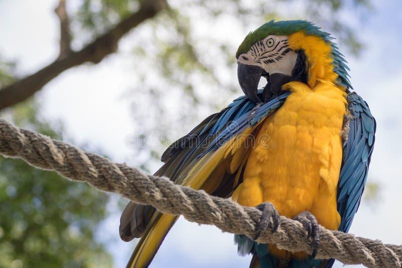 Ararauna azul y amarillo del Ara del macaw que se encarama al aire libre en cuerda gruesa imágenes de archivo libres de regalías