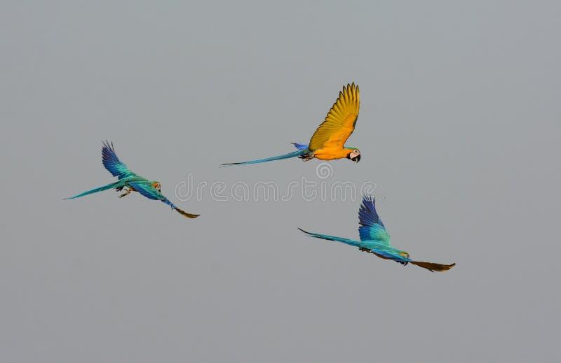 ararauna Bleu-et-jaune d'Ara de Macaw photo libre de droits