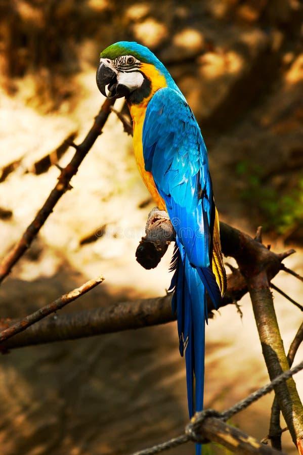 Ararauna del Ara del pappagallo fotografia stock