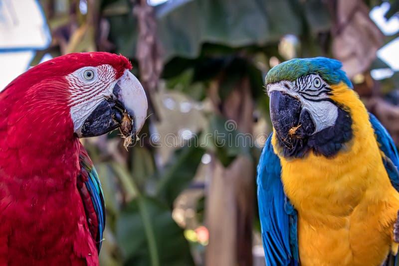 Ararauna van vogelaronskelken en het Rode ara eten, blauwe en gele araaka Arara Caninde en rode ara, exotics Braziliaanse vogels stock afbeeldingen