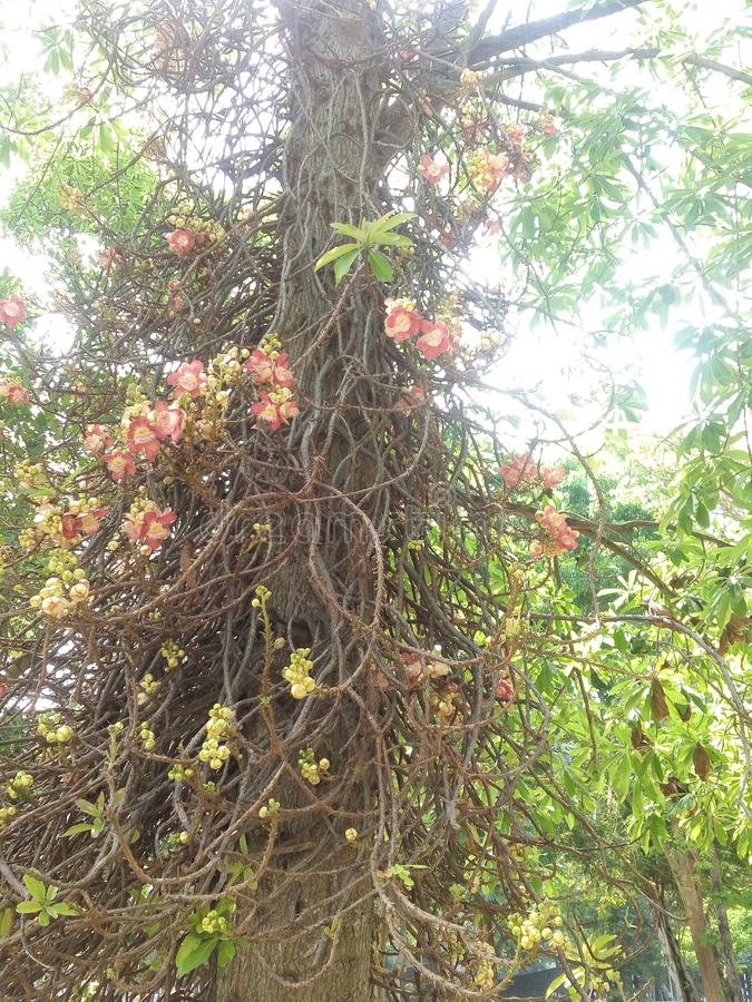 Arare sal flowers of sri lanka. This tree is slightly larger than a tree flowers do not have an abundant flower buds stock images