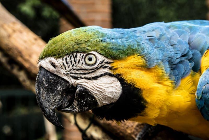 Aras color?s, bleus et jaunes du Br?sil photographie stock libre de droits