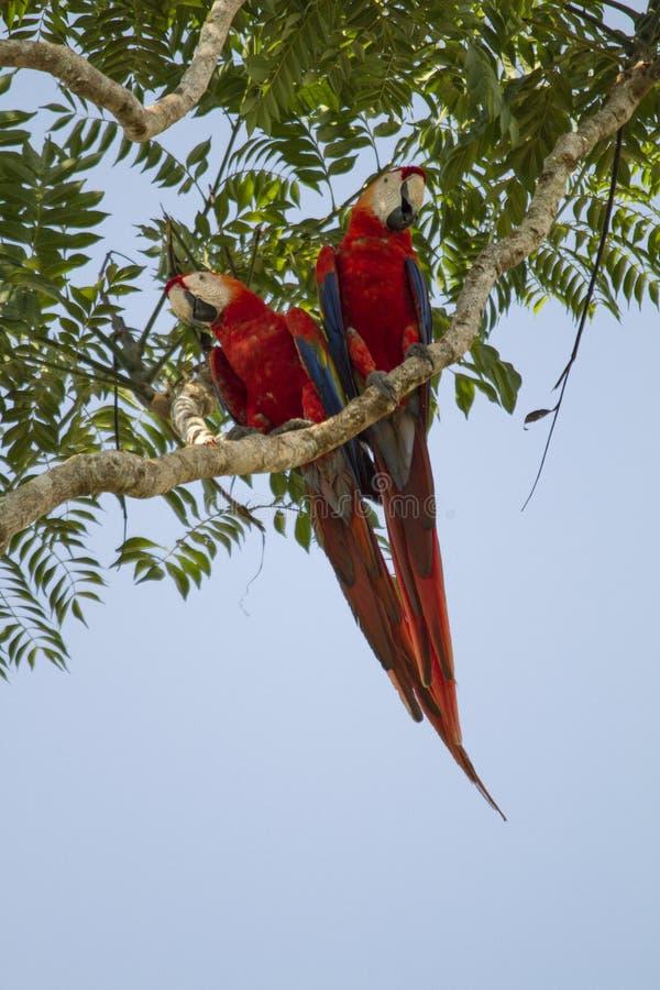 Aras d'écarlate dans un arbre photographie stock libre de droits