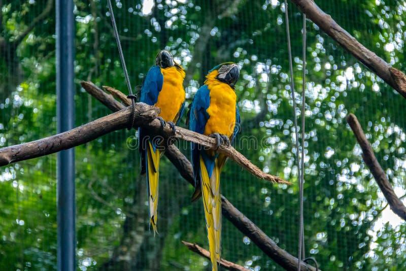 Aras de bleu et d'or chez Parque DAS Aves - Foz font Iguacu, Parana, Brésil photos libres de droits