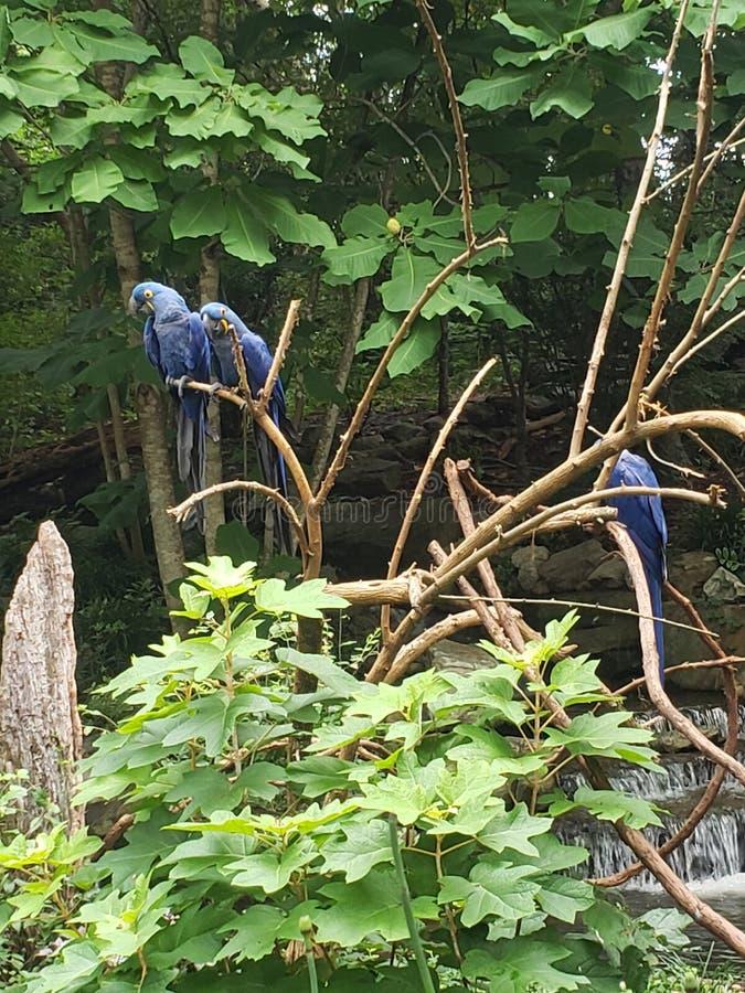 Aras de jacinthe de zoo de Nashville image libre de droits