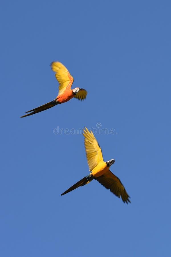 Aras gratuits de vol photo libre de droits