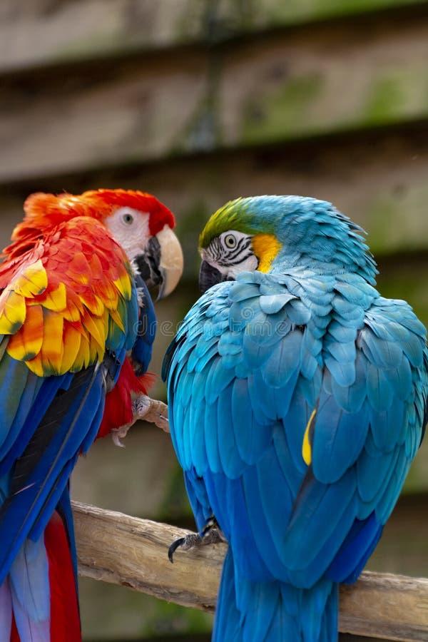 Arascharlakansrött- och blått-och-guling papegojor, lång-tailed färgrika exotiska fåglar royaltyfri foto