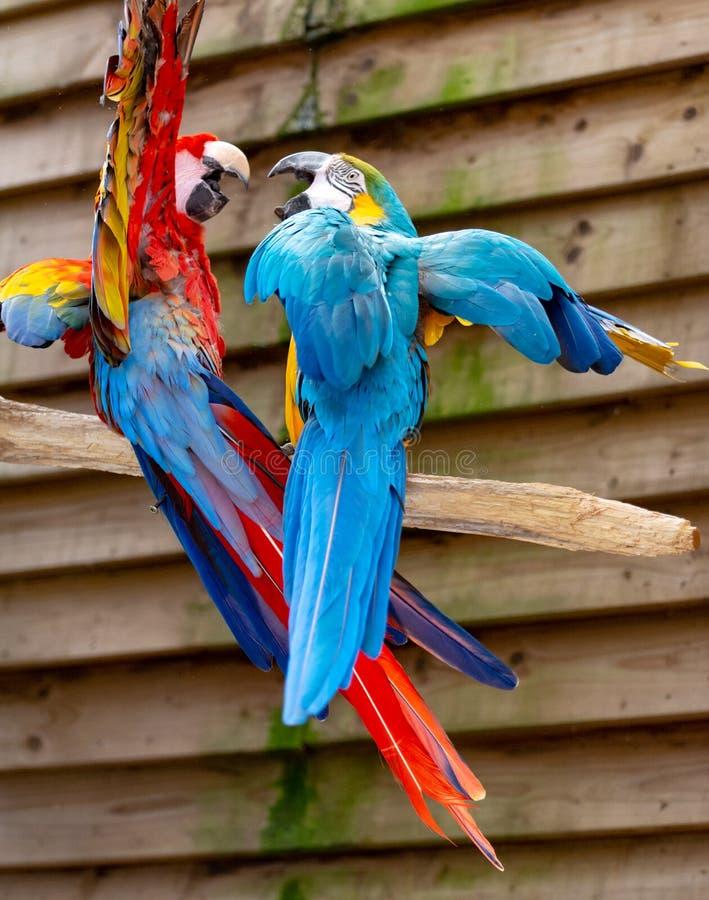 Arascharlakansr?tt- och bl?tt-och-guling papegojor, l?ng-tailed f?rgrika exotiska f?glar arkivbilder