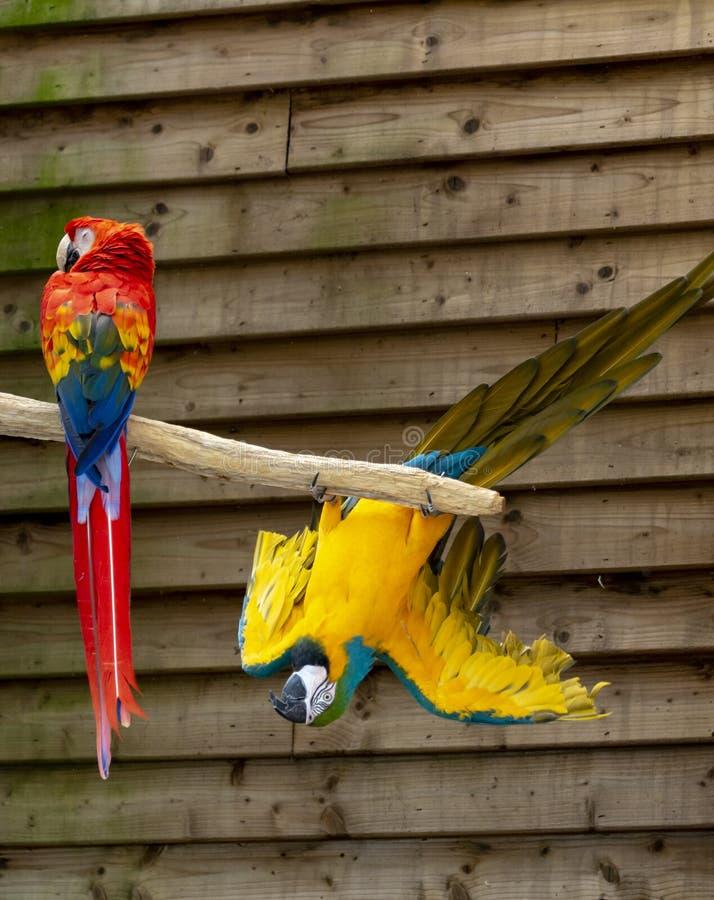 Arascharlakansr?tt- och bl?tt-och-guling papegojor, l?ng-tailed f?rgrika exotiska f?glar royaltyfria foton