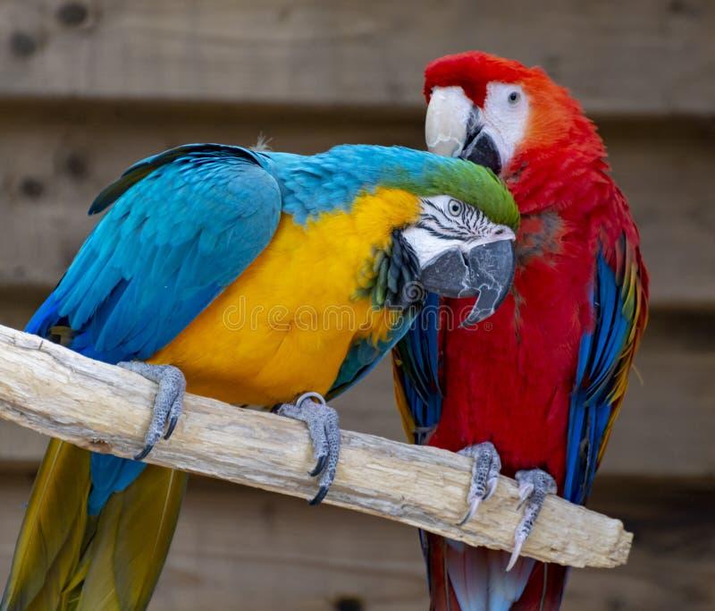 Arascharlakansr?tt- och bl?tt-och-guling papegojor, l?ng-tailed f?rgrika exotiska f?glar royaltyfri foto