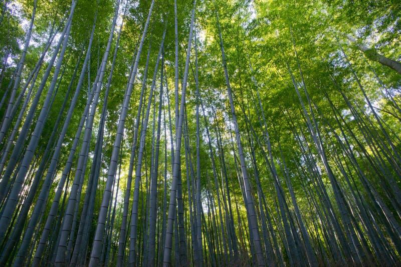 Arashiyama竹子树丛 免版税库存图片