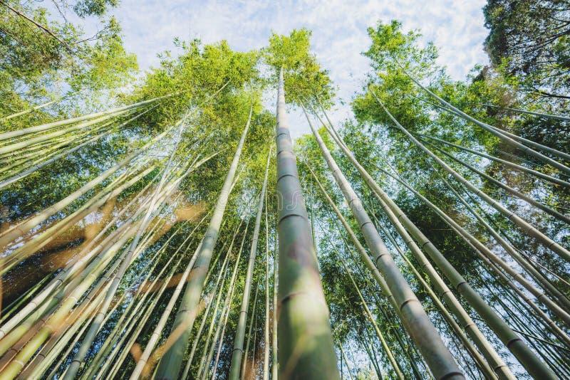 Arashiyama竹森林的竹树丛在京都,日本 库存图片
