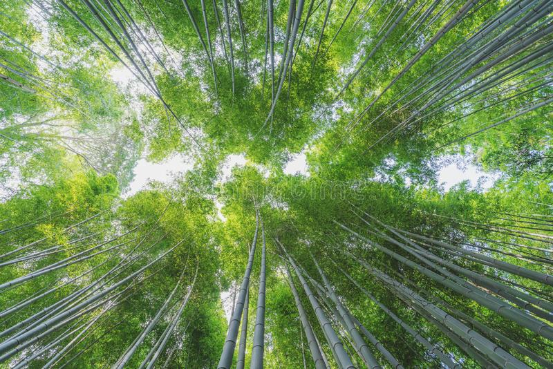 Arashiyama竹森林的竹树丛在京都,日本 库存照片