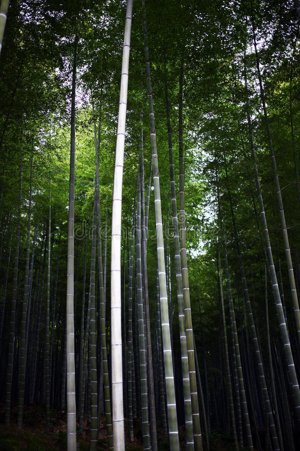 Arashiyama Bamboo royalty free stock images