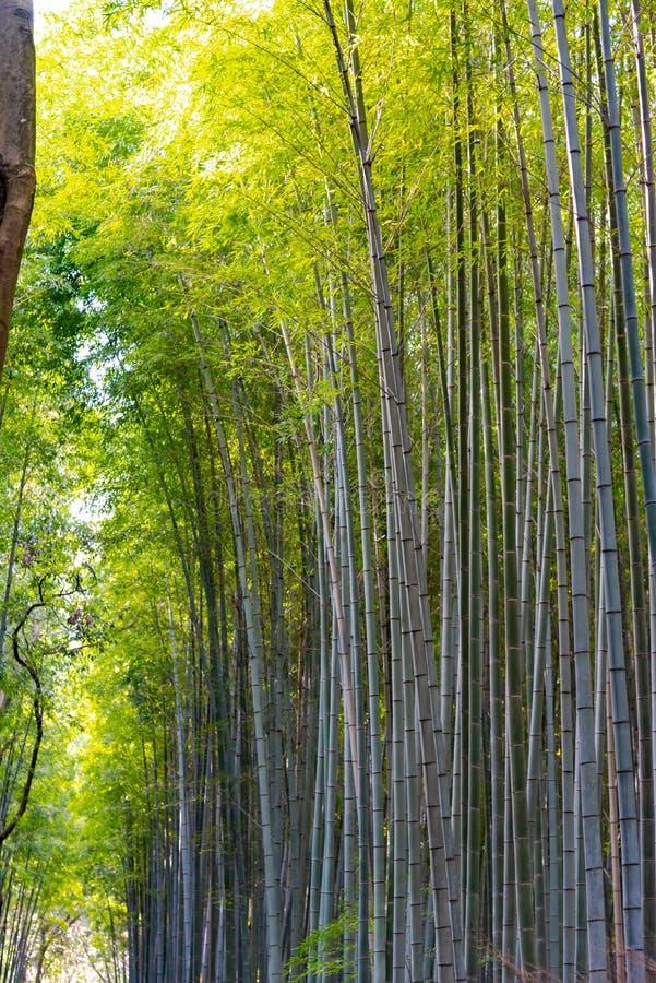Arashiyama Bamboo Grove Zen garden, a natural forest of bamboo in Arashiyama, Kyoto stock photos