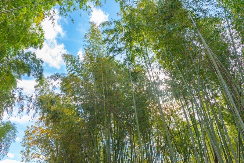 Arashiyama Bamboo Grove Zen garden, a natural forest of bamboo in Arashiyama, Kyoto royalty free stock image