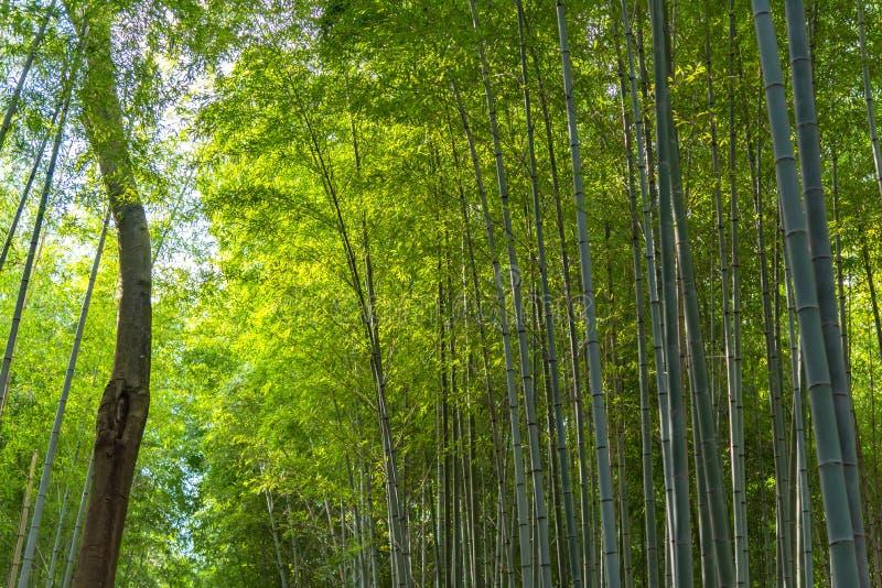 Arashiyama Bamboo Grove Zen garden, a natural forest of bamboo in Arashiyama, Kyoto royalty free stock images