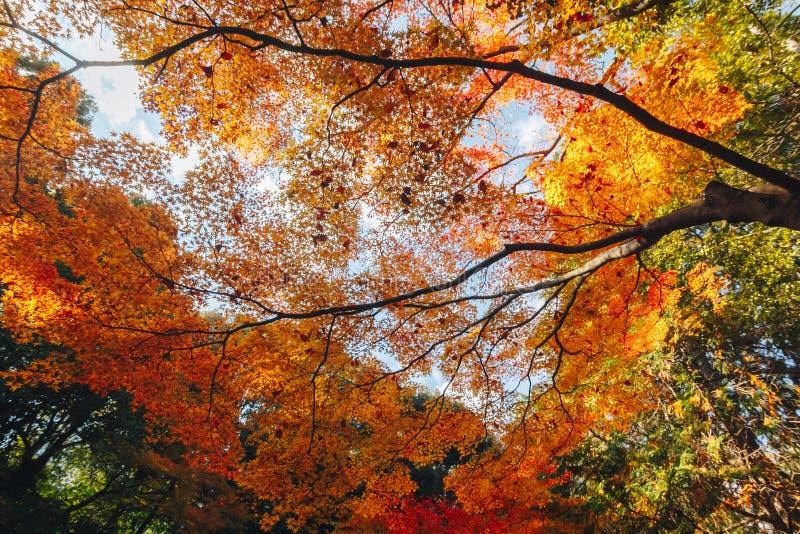 Arashiyama jest jesień sezonu późnym listopadem i kolorowym liściem taki obraz royalty free