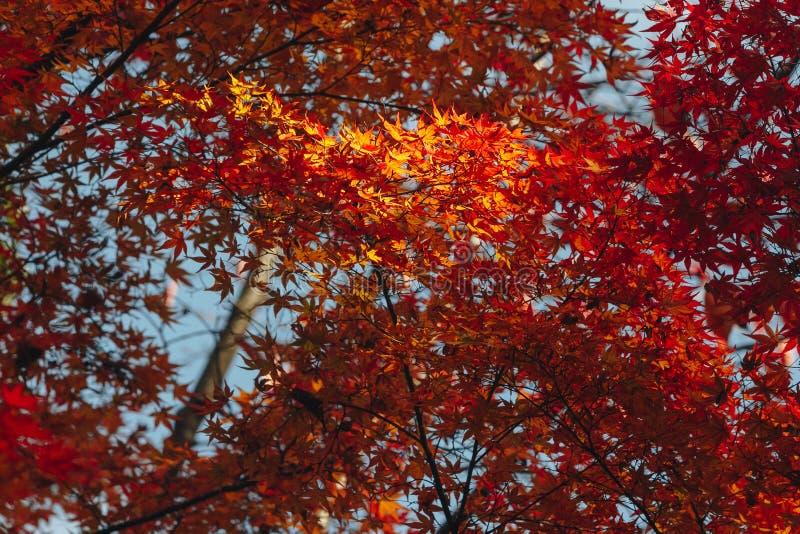 Arashiyama jest jesień sezonu późnym listopadem i kolorowym liściem taki zdjęcia stock
