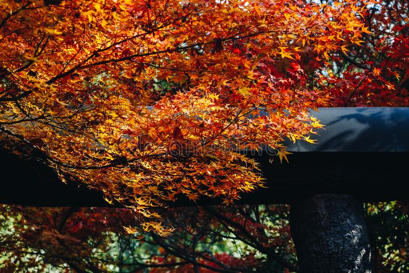 Arashiyama jest jesień sezonu późnym listopadem i kolorowym liściem taki zdjęcie royalty free