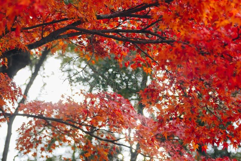 Arashiyama jest jesień sezonu późnym listopadem i kolorowym liściem taki zdjęcia royalty free