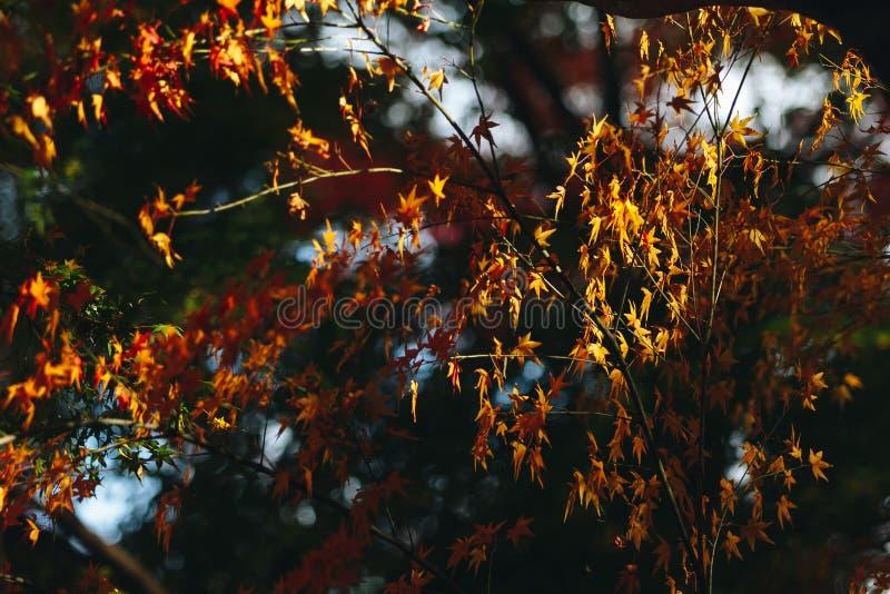 Arashiyama jest jesień sezonu późnym listopadem i kolorowym liściem taki obraz stock