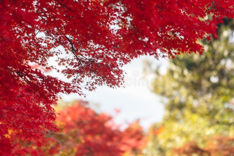 Arashiyama jest jesień sezonu późnym listopadem i kolorowym liściem taki fotografia royalty free