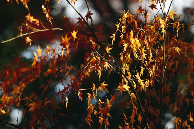 Arashiyama jest jesień sezonu późnym listopadem i kolorowym liściem taki fotografia stock