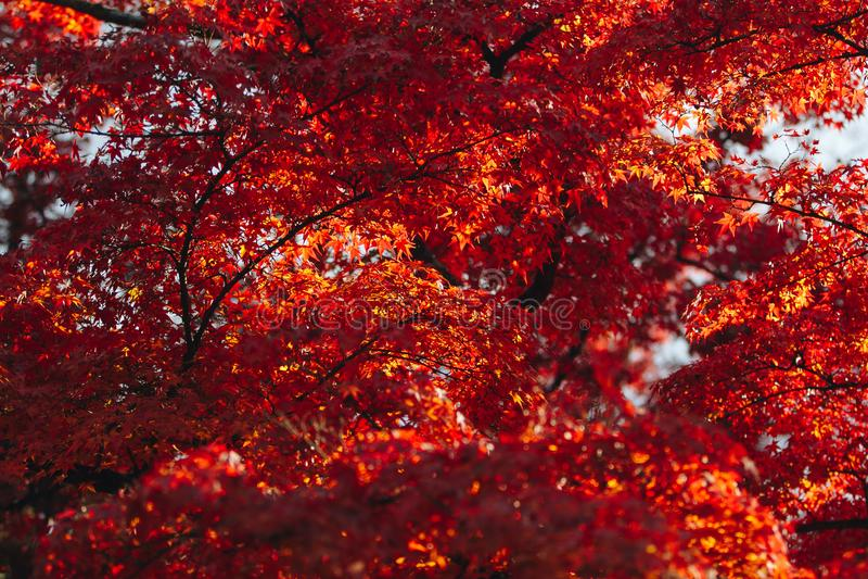 Arashiyama jest jesień sezonu późnym listopadem i kolorowym liściem taki zdjęcie stock