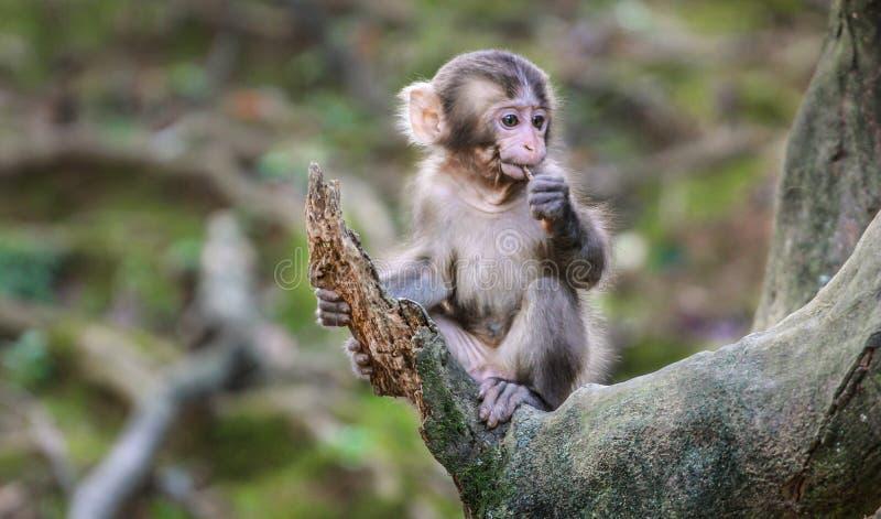 Arashiyama Monkey Park Iwatayama royalty free stock images