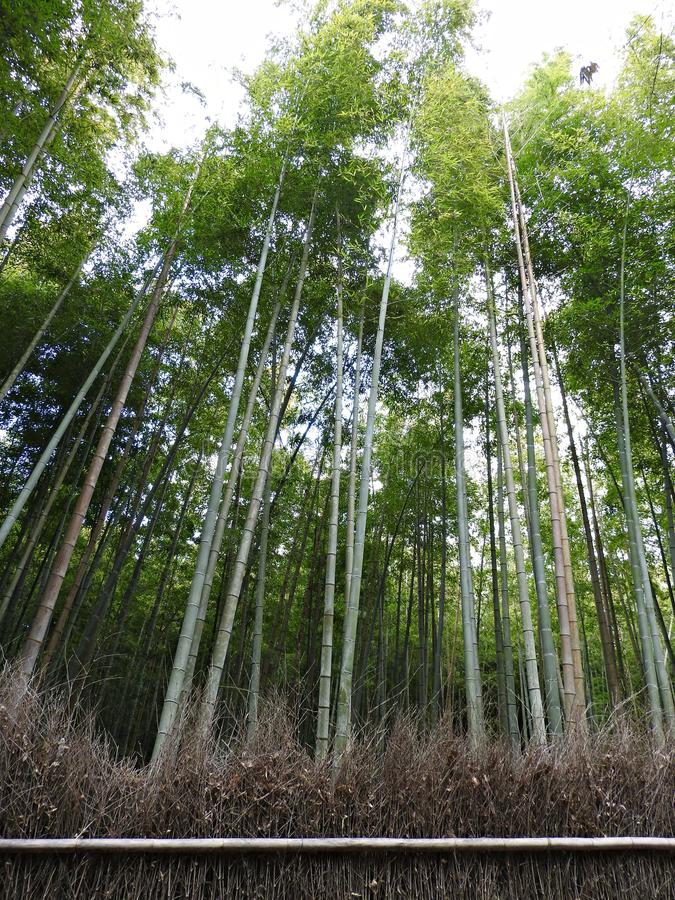 Arashiyama-Sagano bambuskog, Kyoto, Japan arkivfoto