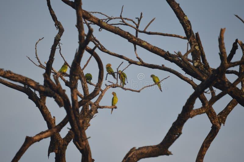 Aratinga canicularis zdjęcia stock